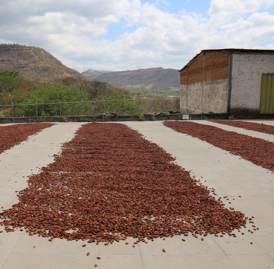 Drying Cacao