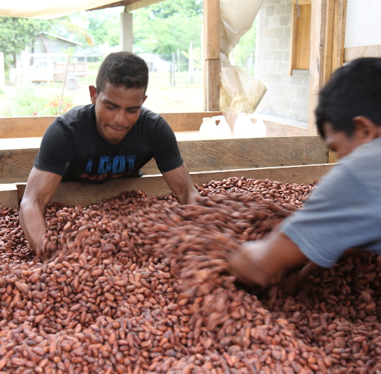 Stirring Cacao Beans
